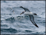 Salvins Albatross and Prion