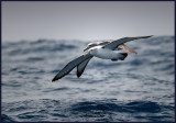 White-capped and Salvins Albatross flying together