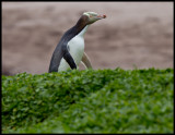 Shy and skulking- the Yellow -eyed Penguin - Enderby Island