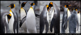 Friends......King Penguins at Macquarie Island