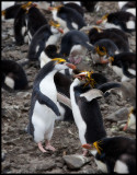 Royal Penguins Rock`n Roll