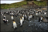 King- and Royal Penguins at Macquarie Island