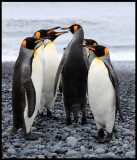 King Penguins - time for inspection?