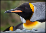 Resting King Penguin