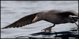 Northern Giant Storm Petrel - Antipodes Island