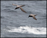 Light-mantled Sooty Albatrosses - Enderby Island (Auckland Islands)