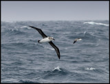 Grey-headed Albatrosses