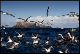 Bullers- and Northern Royal Albatrosses near The Sisters