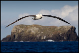 Northern Royal Albatross near The Sisters