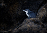 Little Blue Penguin hiding behind rocks close to the shoreline