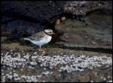 Shore Plover - a rare wader only found at South East Island (Chatham group)