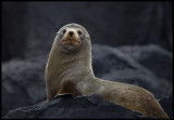 New Zealand Furseal at Antipodes