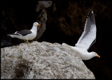 Kelp Gulls at Antipodes Island