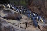 Erect-crested Penguins passing a New Zealand Furseal