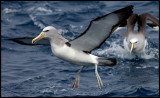 Salvins Albatrosses