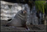New Zealand Furseal - Chatham