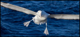 Northern Royal Albatross trying to land