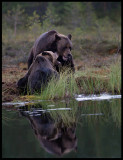 Brown Bears fighting in a small pond on the border between Finland and Russia