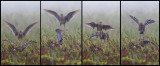 Dancing Great Snipes on a remote lekkingplace in Norway