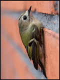 A Goldcrest (Kungsfågel) sitting on the outside wall of my house
