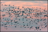 Barnacle Geese at dusk - Ottenby