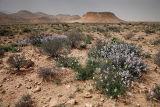 060307-087 Desert flowers w.jpg