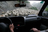 Sheep on the road - a common sight