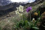 Caucasian flowers on 2500 m altitude