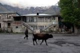 Evening bull-walk in Kazbegi