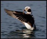 Long-tailed Duck in Kivik harbour