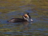 Greater Crested Grebe
