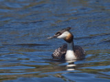 Greater Creasted Grebe
