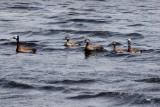 White Faced Ducks