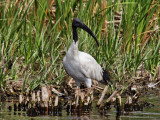 Sacred (Scaby) Ibis