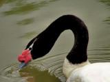 800 swan 2a P1271445.jpg