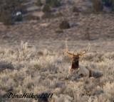 BullElk-8999-23Jan2011-BrownsPark-web.jpg