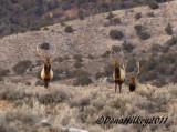 BullElk-9018-23Jan2011-BrownsPark-web.jpg