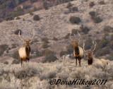 BullElk-9028-23Jan2011-BrownsPark-web.jpg