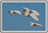 Snowy Egret's