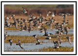 Teals and Shovelers