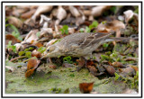 american_pipit