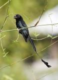 Drongos; Treepies; Malkhoas; Crows; Coucals