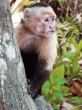 Cappuchin. Montezuma Costa Rica. 2010.gif