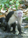 Cappuchin Monkey Costa Rica