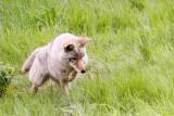 1720 Coyote