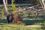 1828 Buffalo and Calf
