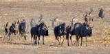Parade of Wildebeest