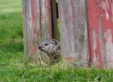 IMG_3211_ Baby groundhog peeking out