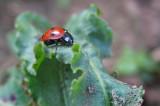 IMG_3419 Tiny ladybug