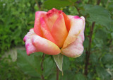 IMG_1976_ Little rose